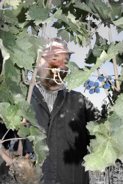 grape_harvest6