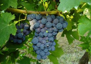 Pugnitello grape