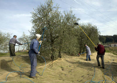 raccolta_olive4