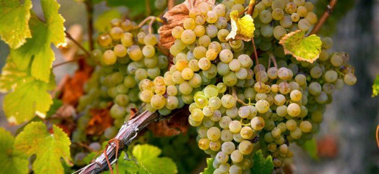 Grechetto grape