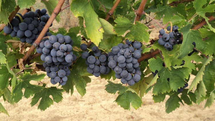 Pugnitello grapes
