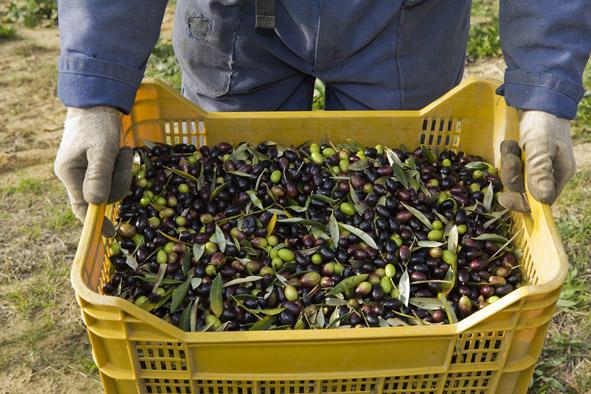 Olive harvest at Santa Vittoria, Pozzo della Chiana, Tuscany